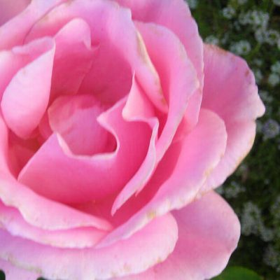 Image of a pink rose in full bloom.