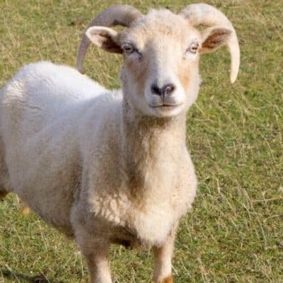 Image of a lamb standing on grass looking directly into the camera.
