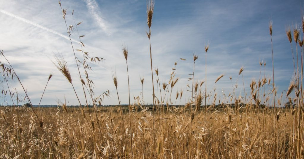 Image of a field of wheat and a light blue sky with a few scattered white clouds.